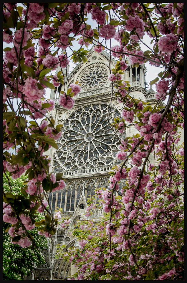 notre_dame_cherry_blossoms